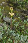 Moor-king (Pedicularis sceptrum-carolinum)